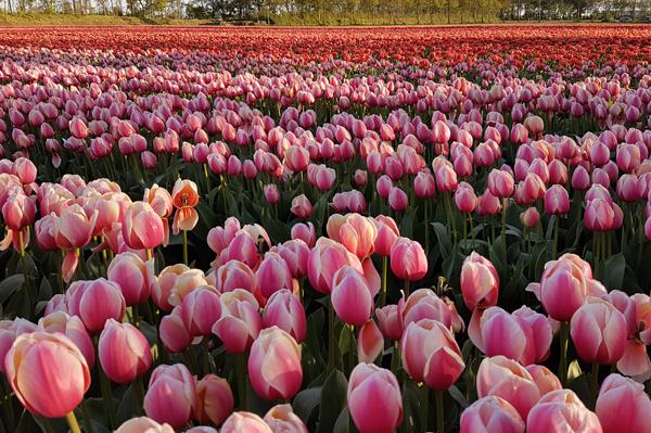 Tulpen bij Fam Flower Farm